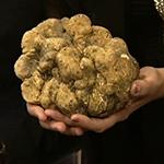 Трюфели – эктомикоризные грибы