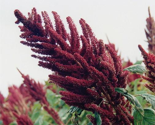 Фото 13. Восковая спелость семян амаранта