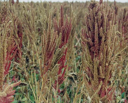 Фото 14. Соцветия с созрелыми семенами