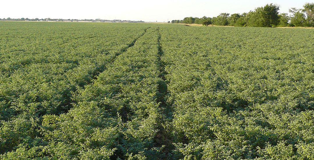 Практики о выращивании нута