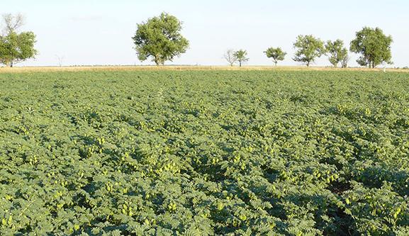 Фото 1. Практики о выращивании нута