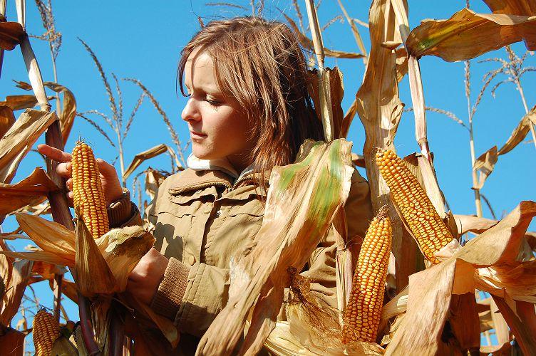 Фото 1. Сушить кукурузу или пусть сохнет сама?