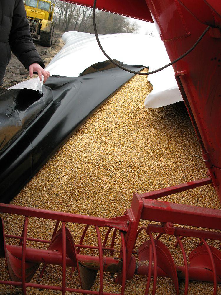 Фото 3. Выборка кукурузы с полиэтиленового мешка, качество зерна осталось хорошим после полугодичного хранения