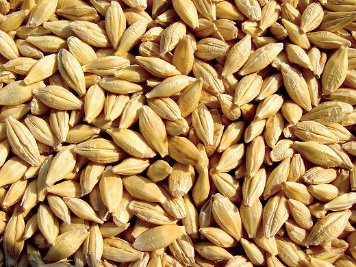 Уральские селекционеры представили высокоурожайный сорт ячменя