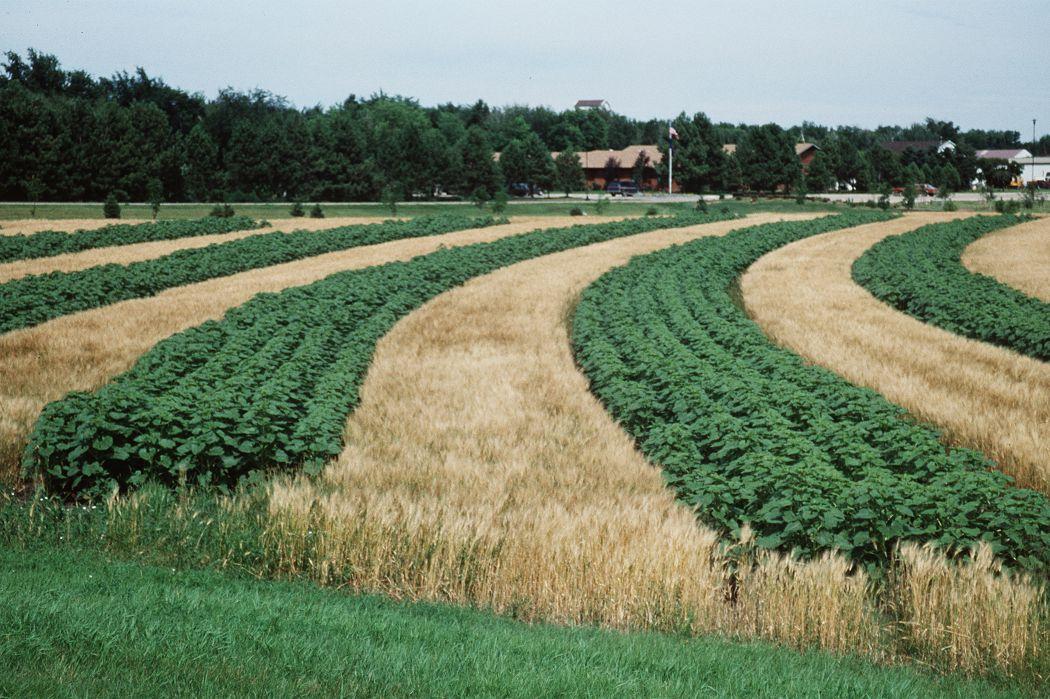 Фото 8. Підготовка ґрунту для посіву соняшника і механічний догляд за посівами не тільки сприяють висушування грунту, але і підсилюють ерозію. Але в інших обставинах лаштунки з соняшнику використовують як засіб боротьби з ерозією