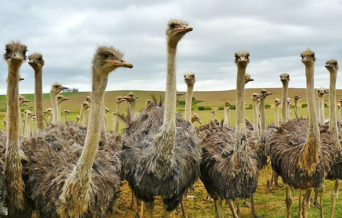 """Результат пошуку зображень за запитом """"страусиная ферма хуст"""""""