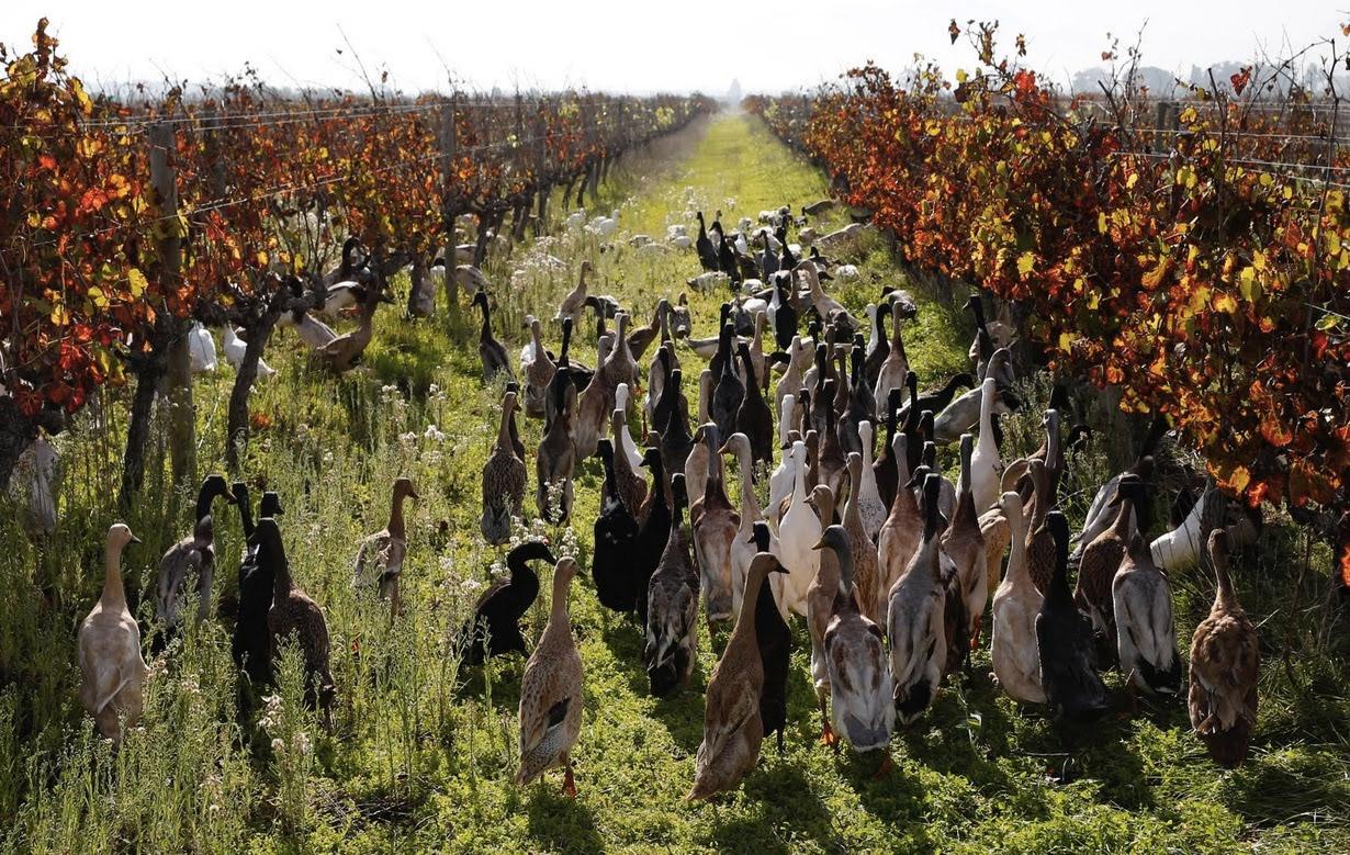 ФОТО 5. В Африке используют уток вместо пестицидов
