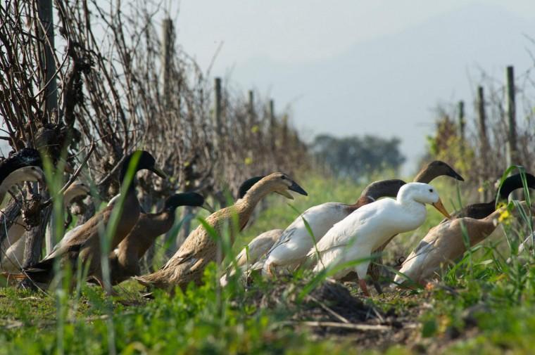 ФОТО 7. В Африке используют уток вместо пестицидов