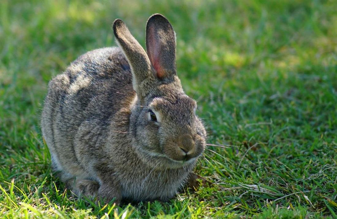 Расстрел в Новой Зеландии Pinterest: В Новой Зеландии кроликов будут заражать спецвирусом