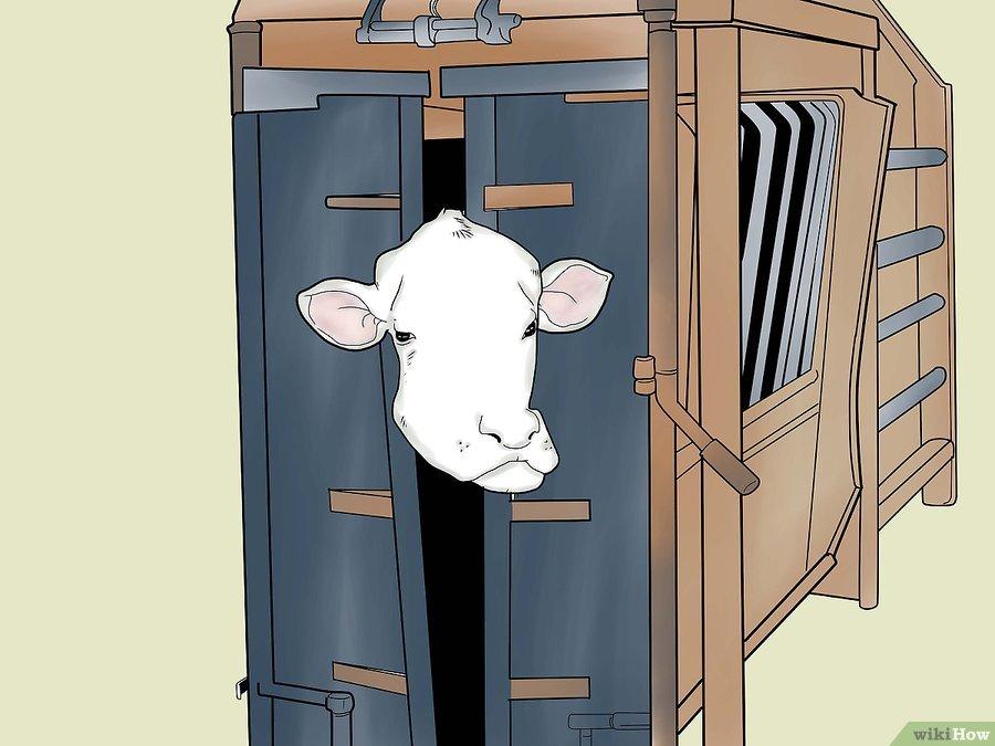 Фото 2. WikiHow: Как делать уколы крупному рогатому скоту