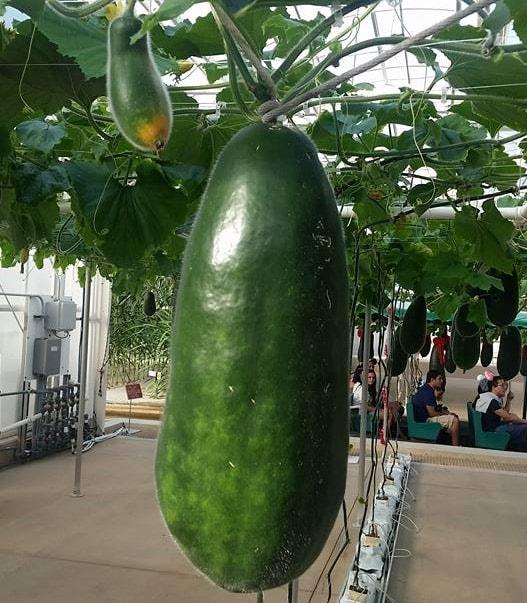 Фото 1. В Disney World выращивают гигантские овощи и фрукты (ФОТО, ВИДЕО)