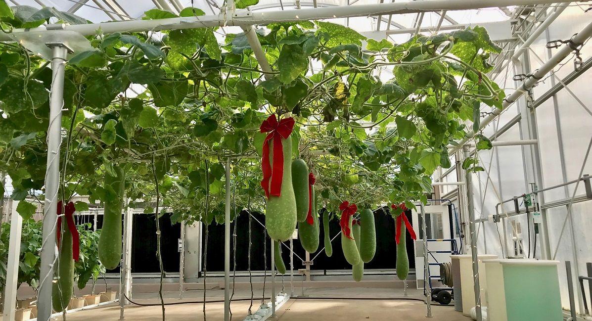 Фото 2. В Disney World выращивают гигантские овощи и фрукты (ФОТО, ВИДЕО)