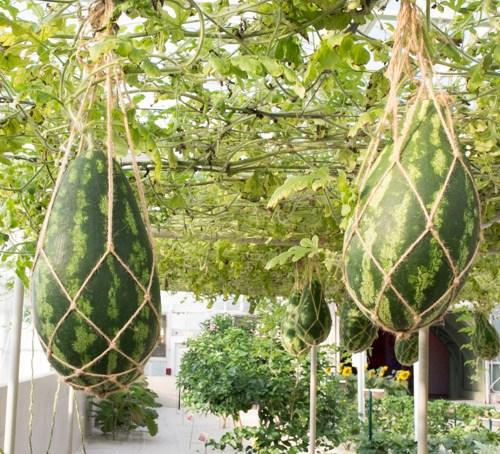 Фото 3. В Disney World выращивают гигантские овощи и фрукты (ФОТО, ВИДЕО)