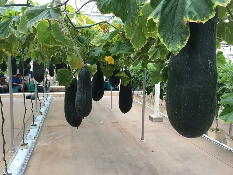 Фото 4. В Disney World выращивают гигантские овощи и фрукты (ФОТО, ВИДЕО)