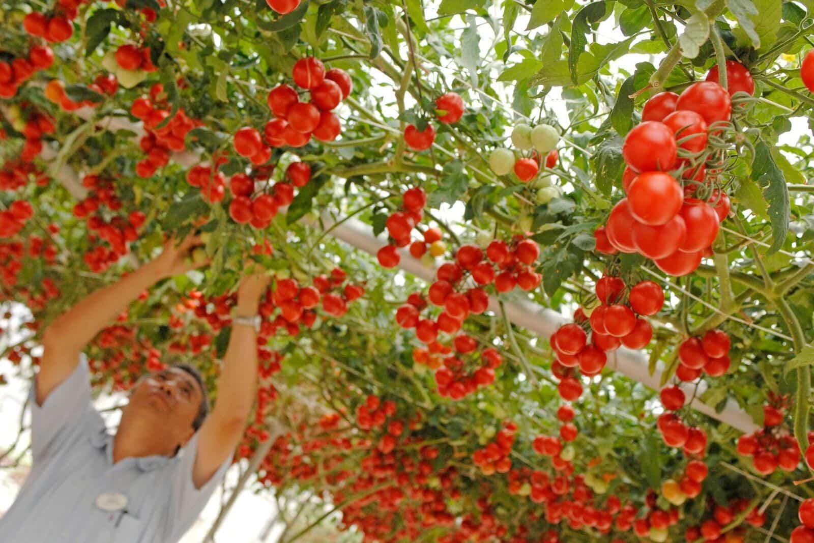 Фото 6. В Disney World выращивают гигантские овощи и фрукты (ФОТО, ВИДЕО)