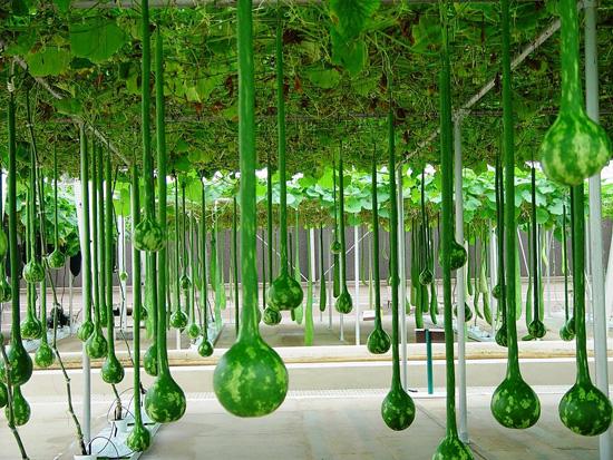 Фото 8. В Disney World выращивают гигантские овощи и фрукты (ФОТО, ВИДЕО)