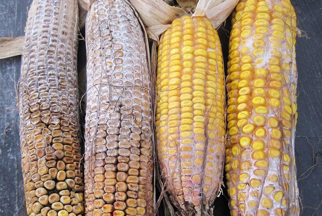 В США вомитоксин нанес серьезный ущерб урожаю кукурузы