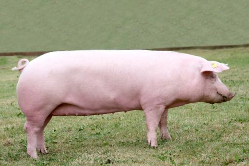 Фото 1. ТОП-5 мясных пород свиней