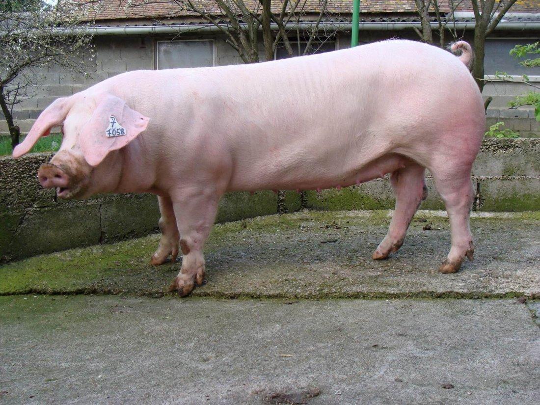 Фото 10. ТОП-5 мясных пород свиней