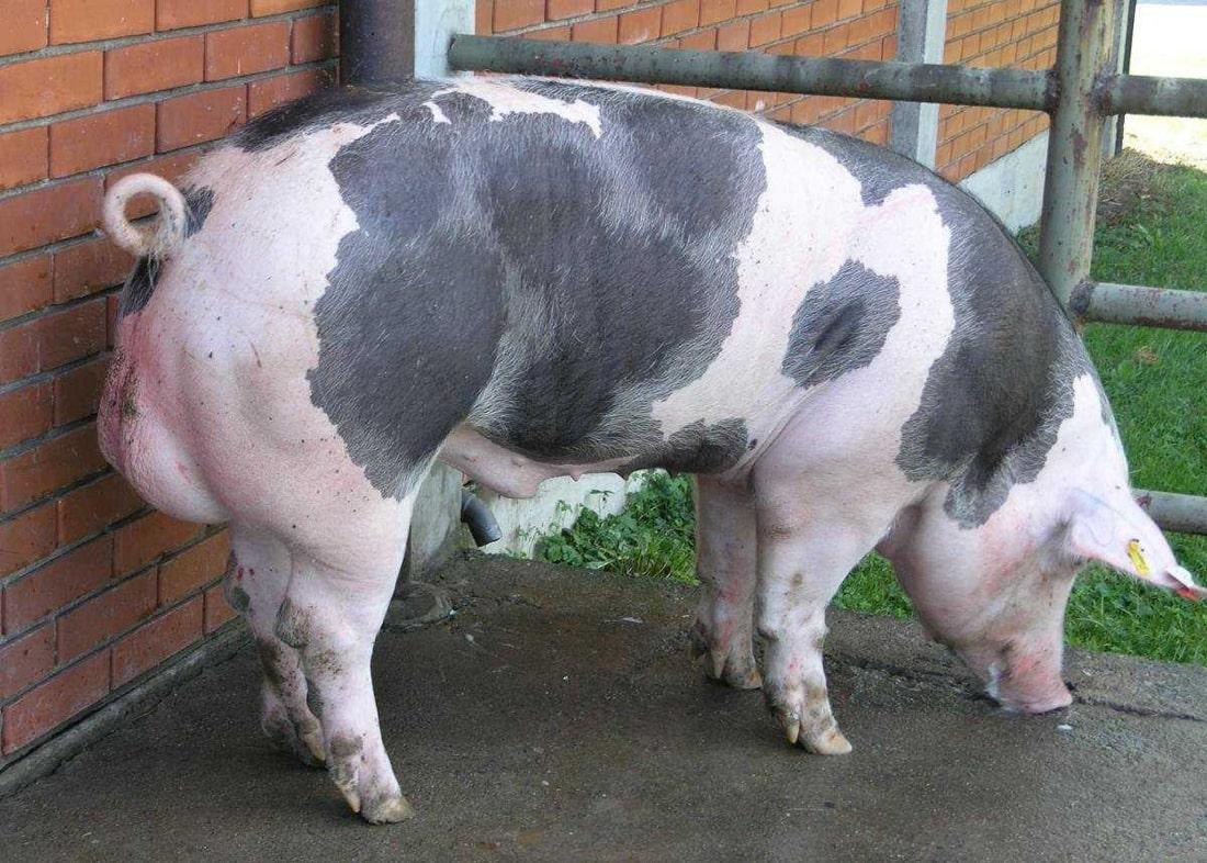 Фото 12. ТОП-5 мясных пород свиней