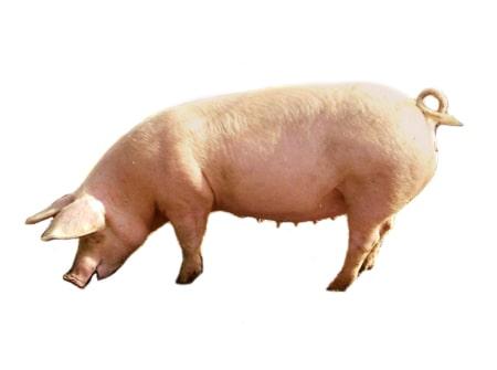 Фото 2. ТОП-5 мясных пород свиней