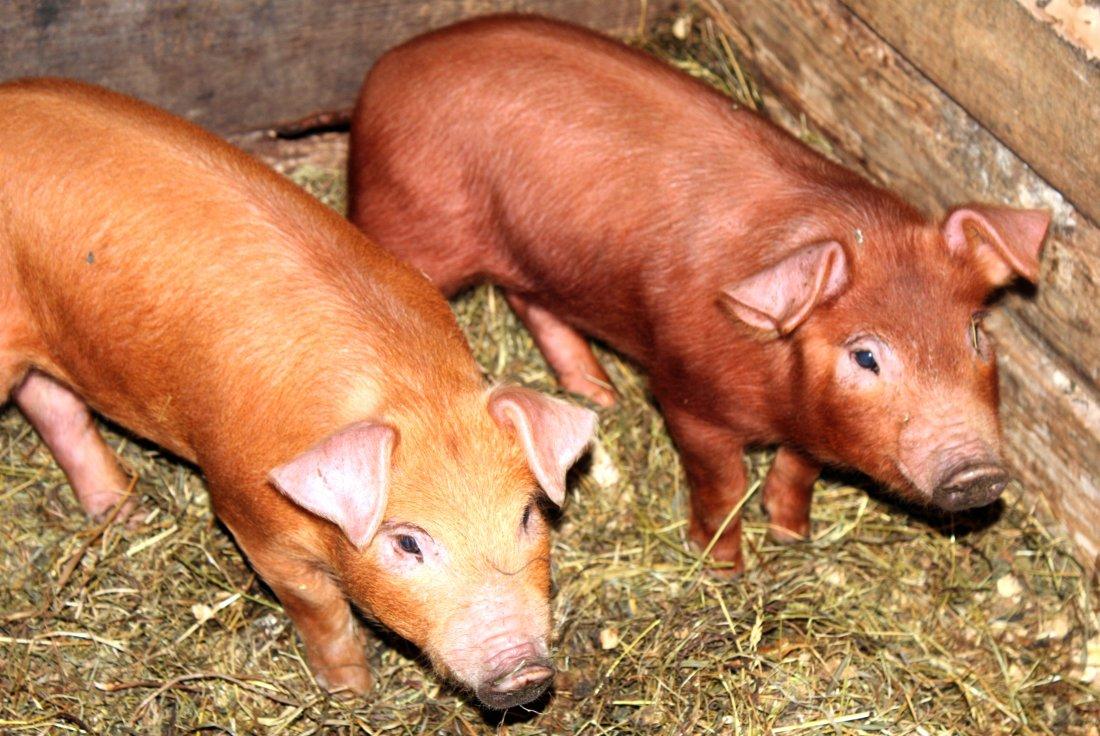 Фото 4. ТОП-5 мясных пород свиней