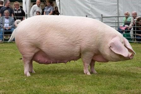 Фото 6. ТОП-5 мясных пород свиней