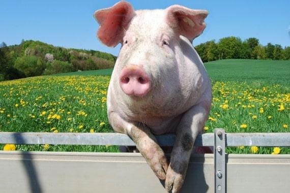 Фото 7. ТОП-5 мясных пород свиней