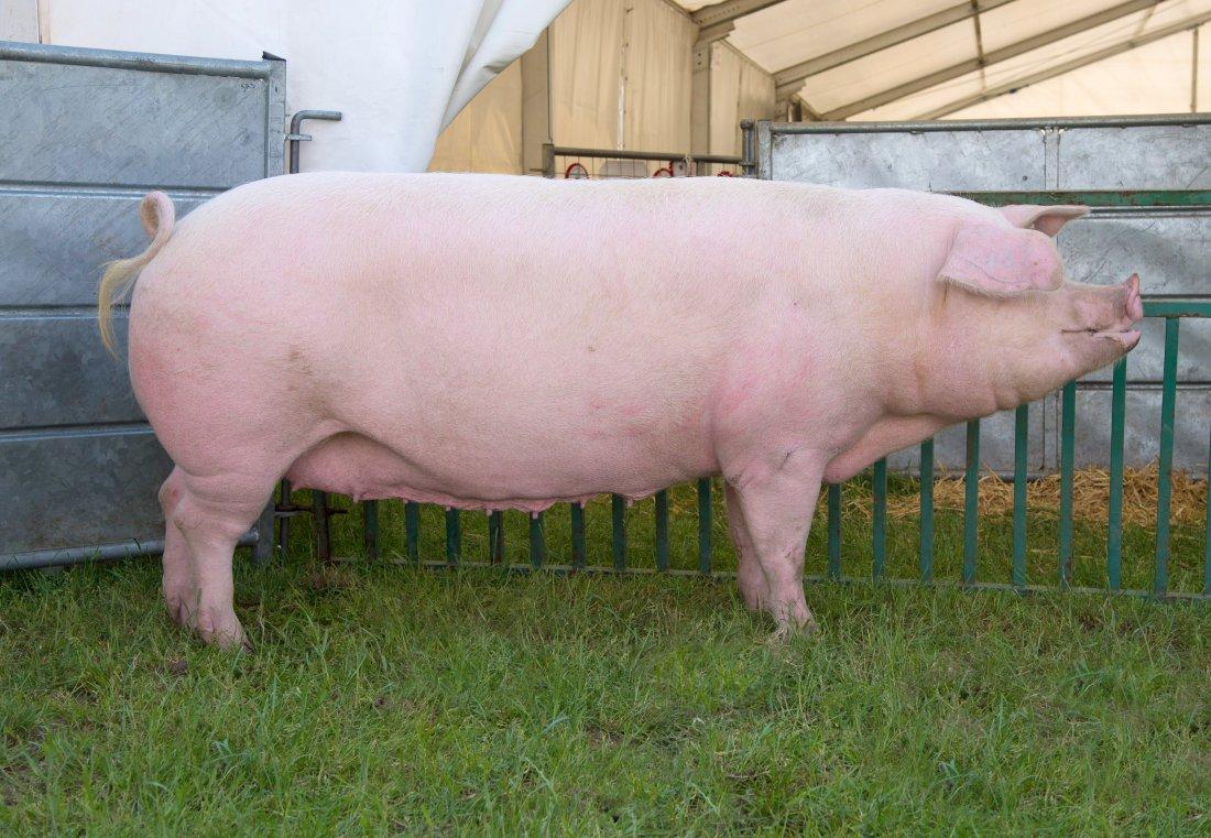Фото 8. ТОП-5 мясных пород свиней