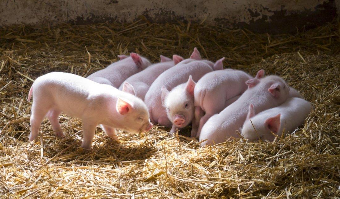 Фото 9. ТОП-5 мясных пород свиней