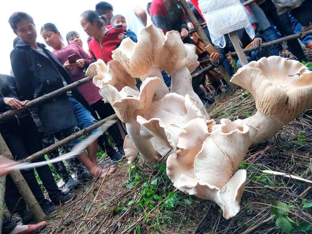 Фото 6. Самые большие грибы (ФОТО)