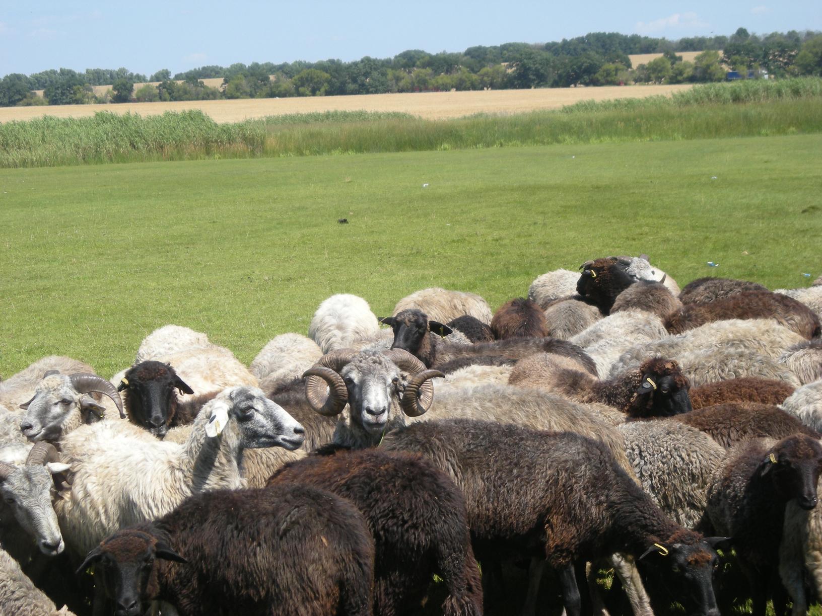 Генеральские овцы