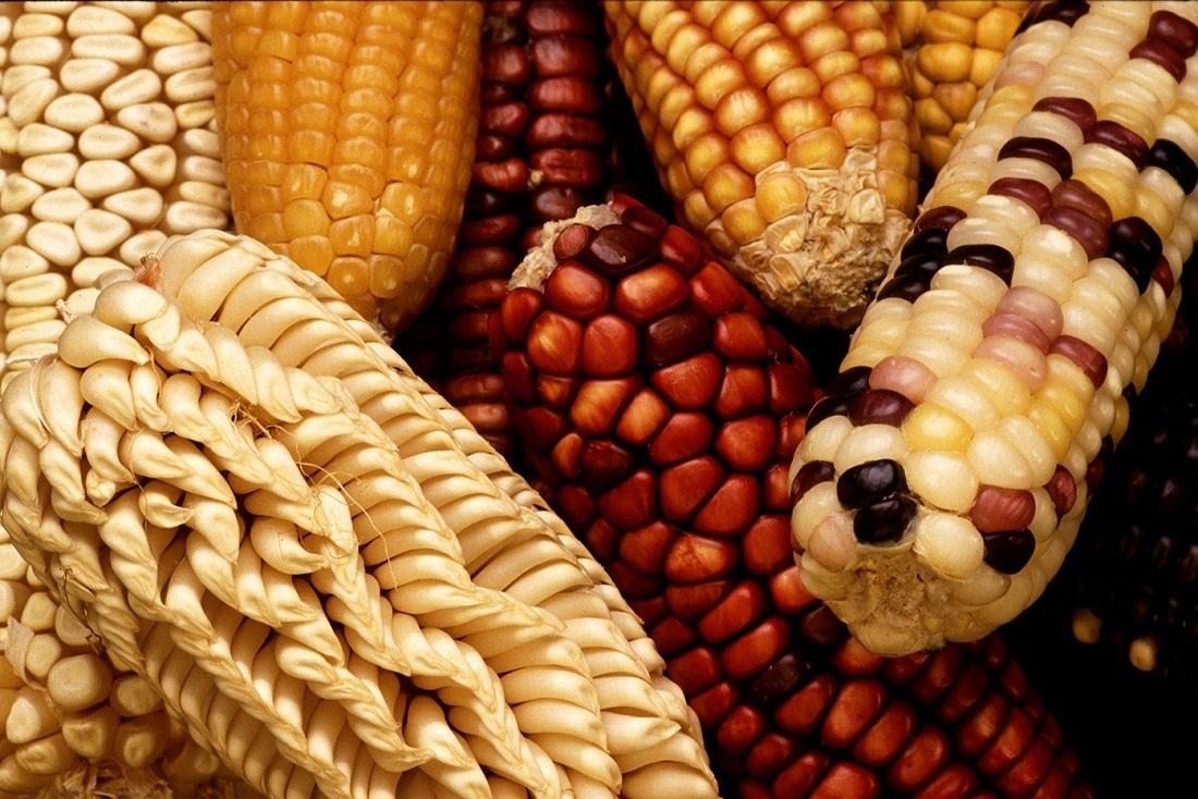 Кукуруза в мире. Ситуация – взрывная