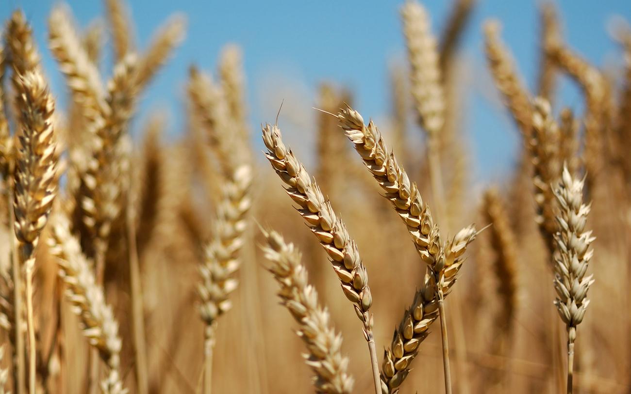 Кислотность и щёлочность почвы. Влияние на урожай. Рост и развитие здорового пшеничного растения