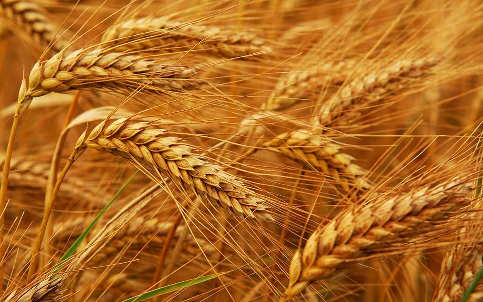 Питание и урожайность пшеницы. Рост и развитие здорового растения