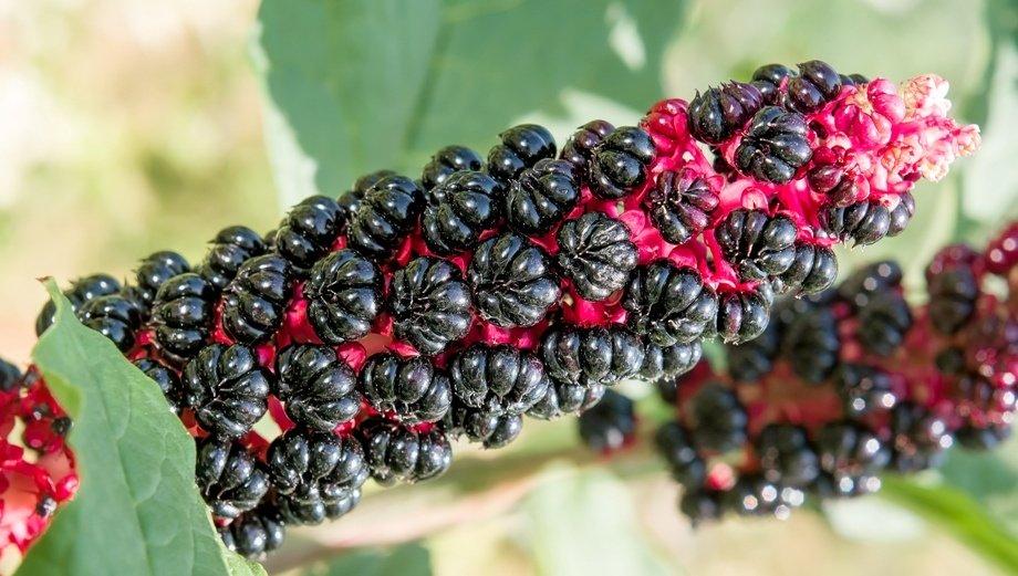 Новый проблемный сорняк Лаконос американский (Phytolacca americana), или Лаконос десятитычинковый (Phytolacca decandra)