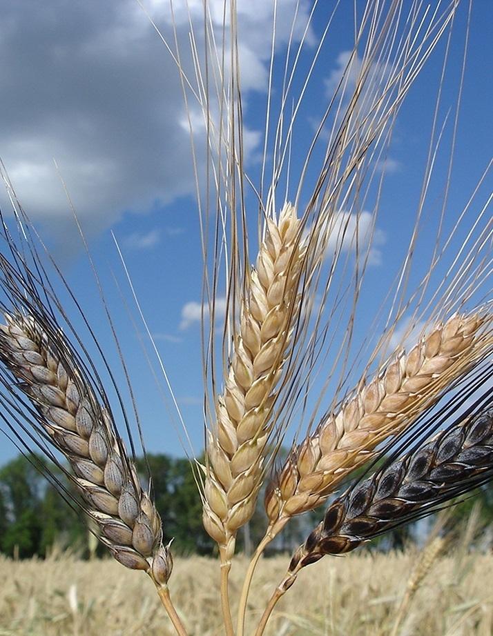 Выращивание пшеницы. Пшеница: тверже и выгодней
