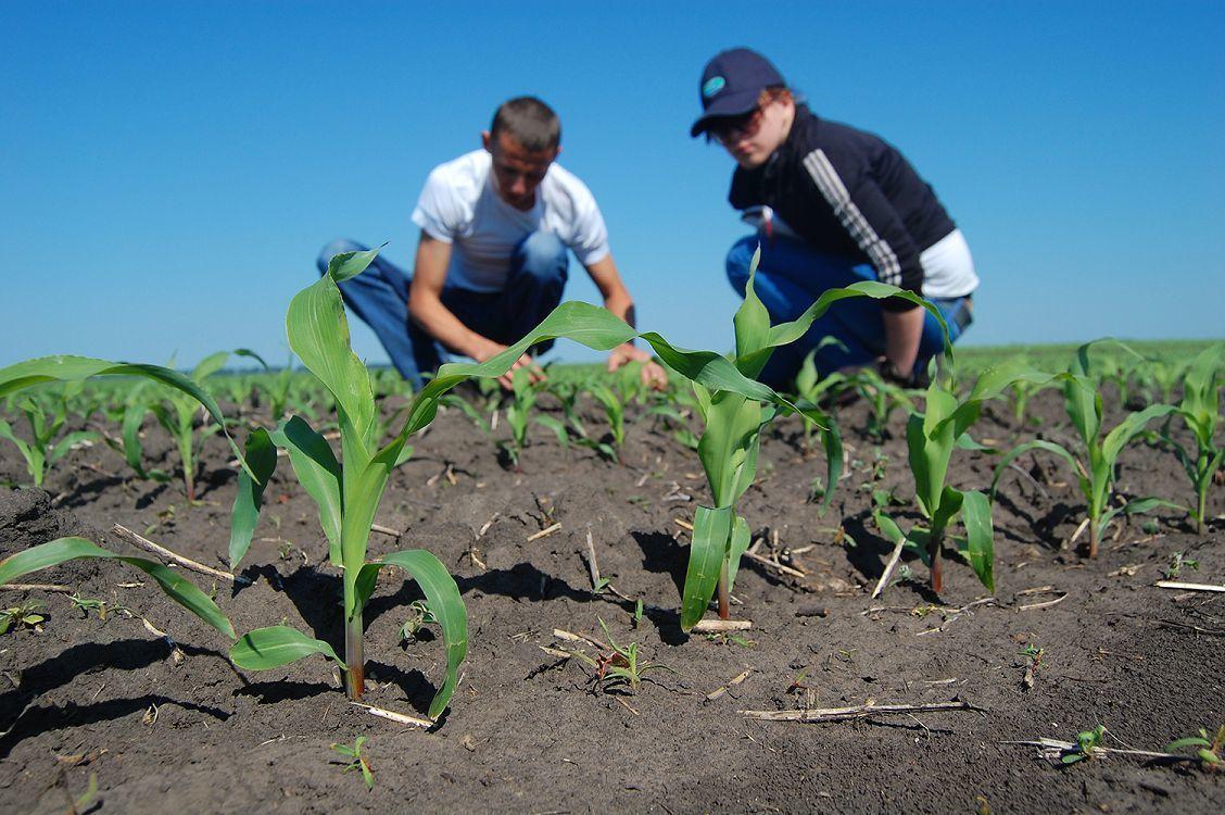 Качество зерна кукурузы закладывается в поле