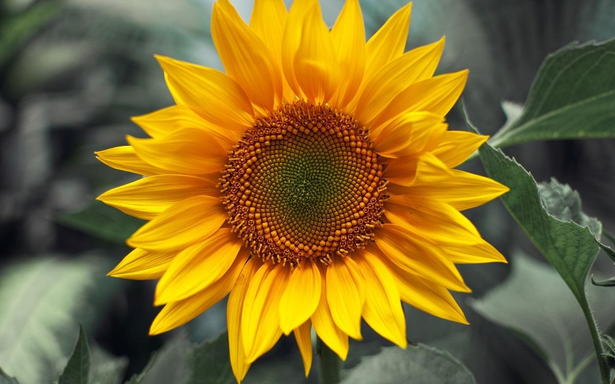 Якісний соняшник – шлях до прибутку