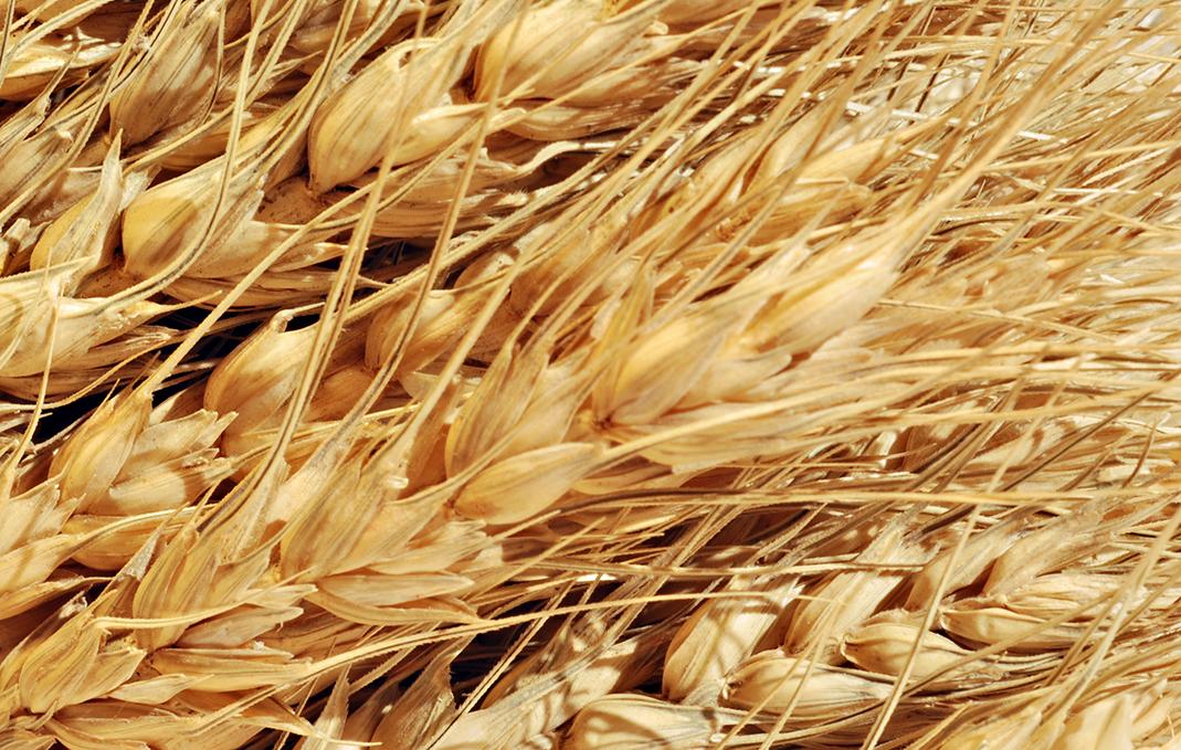 Защита высокоурожайной пшеницы осенью