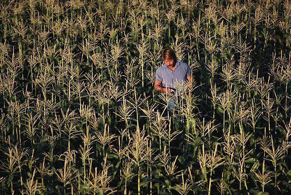 Калий в росте кукурузы
