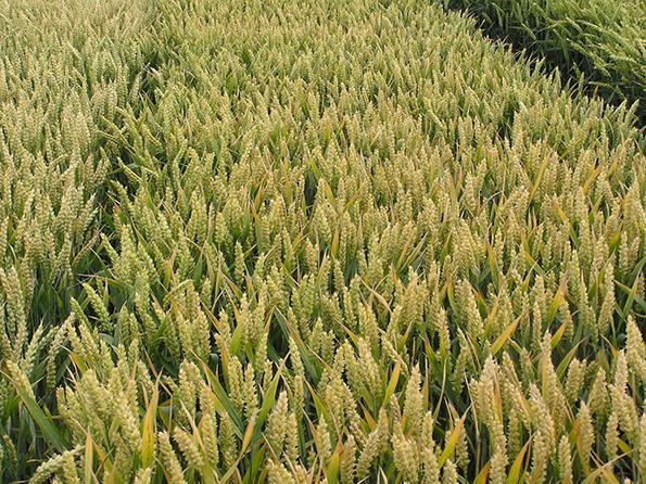 Озимая пшеница Самурай. Потенциал – 120 центнеров