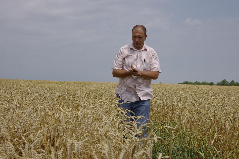 Как выбрать сорт озимой пшеницы