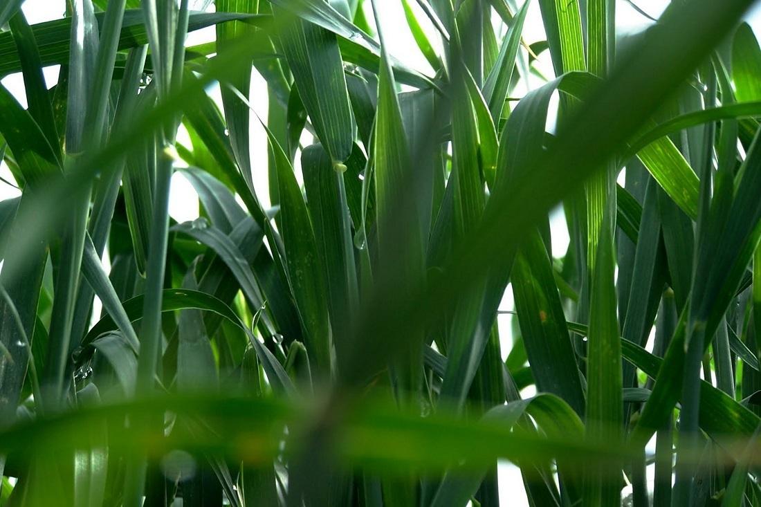 Бактериозы – угроза для людей и растений (Pseudomonas syringae)