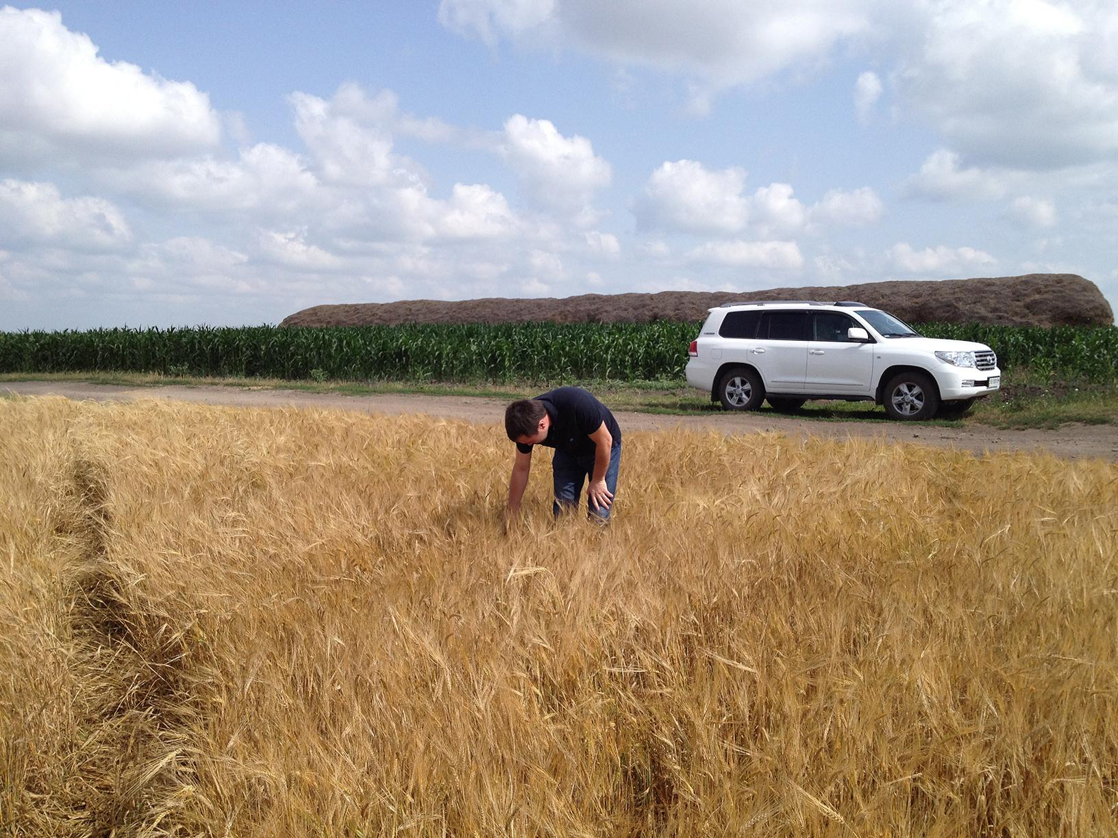 Эффект осеннего внесения аммонийного азота под озимую пшеницу