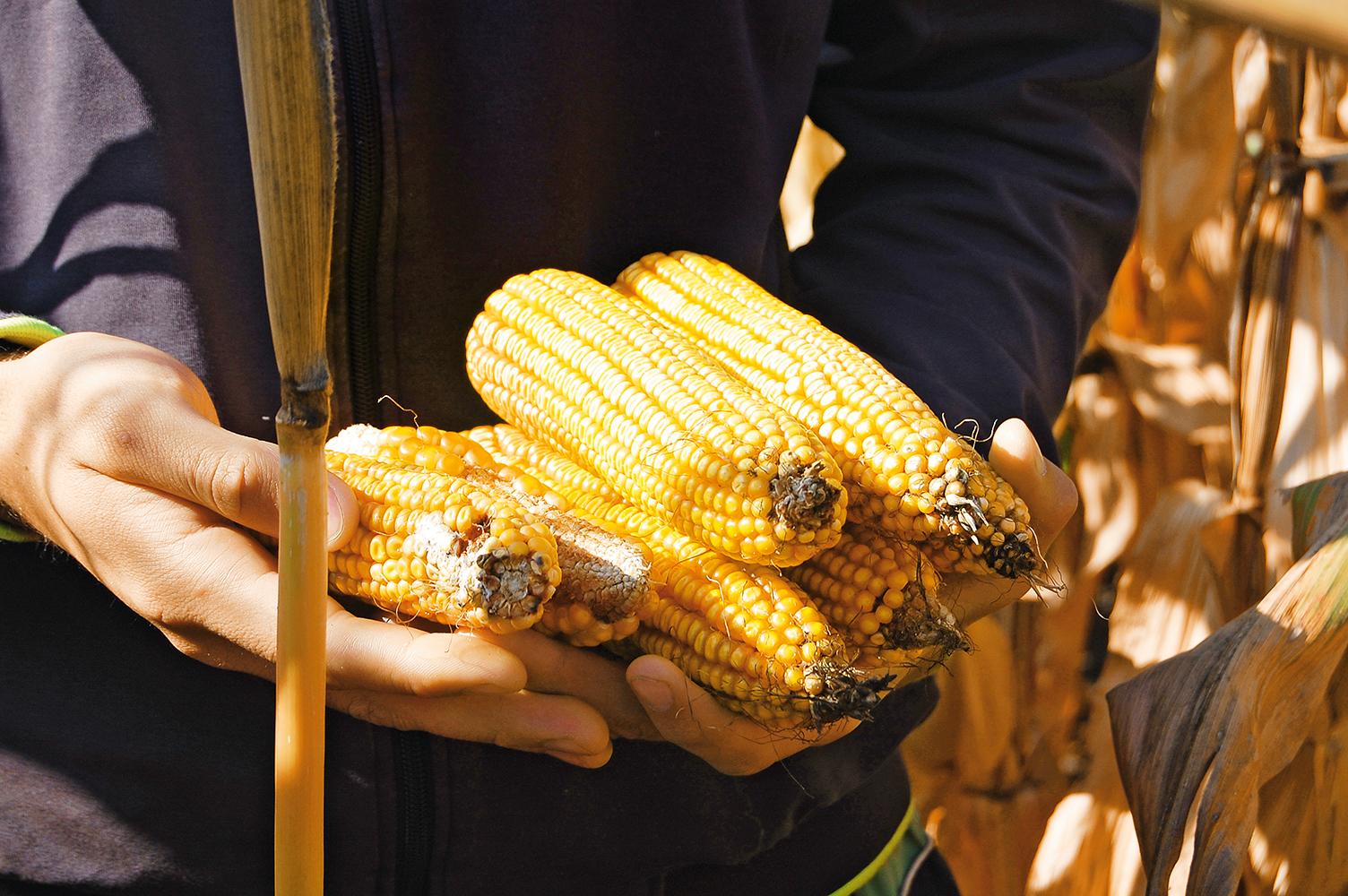 О качестве кукурузы позаботятся семенные мини-заводы