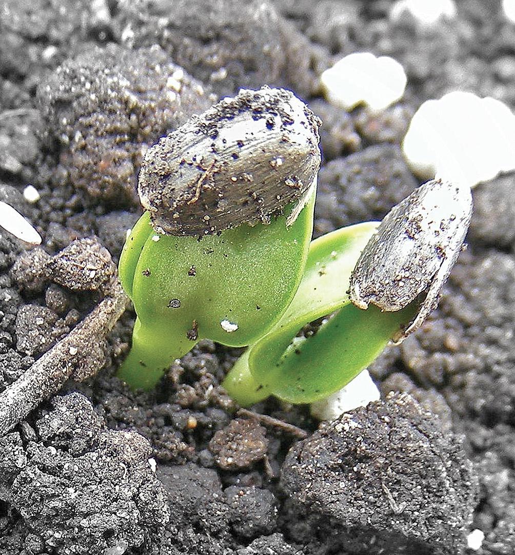 Все о выращивании подсолнечника – разработки Университета Буэнос-Айреса