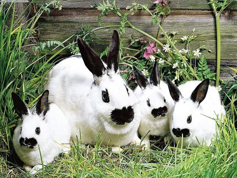 Прибыльный кролик микраксель