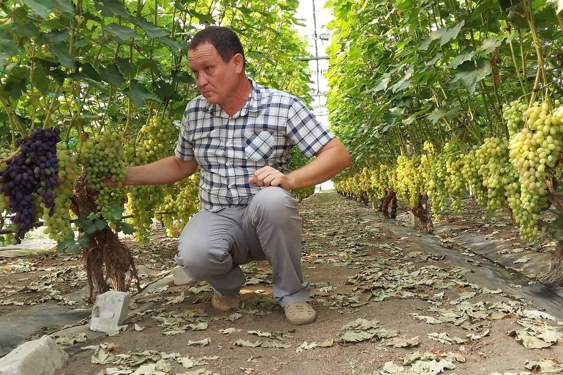 Суперранний виноград