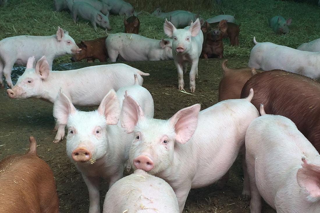 АЧС: Свиноводов пытаются освободить от налогового давления